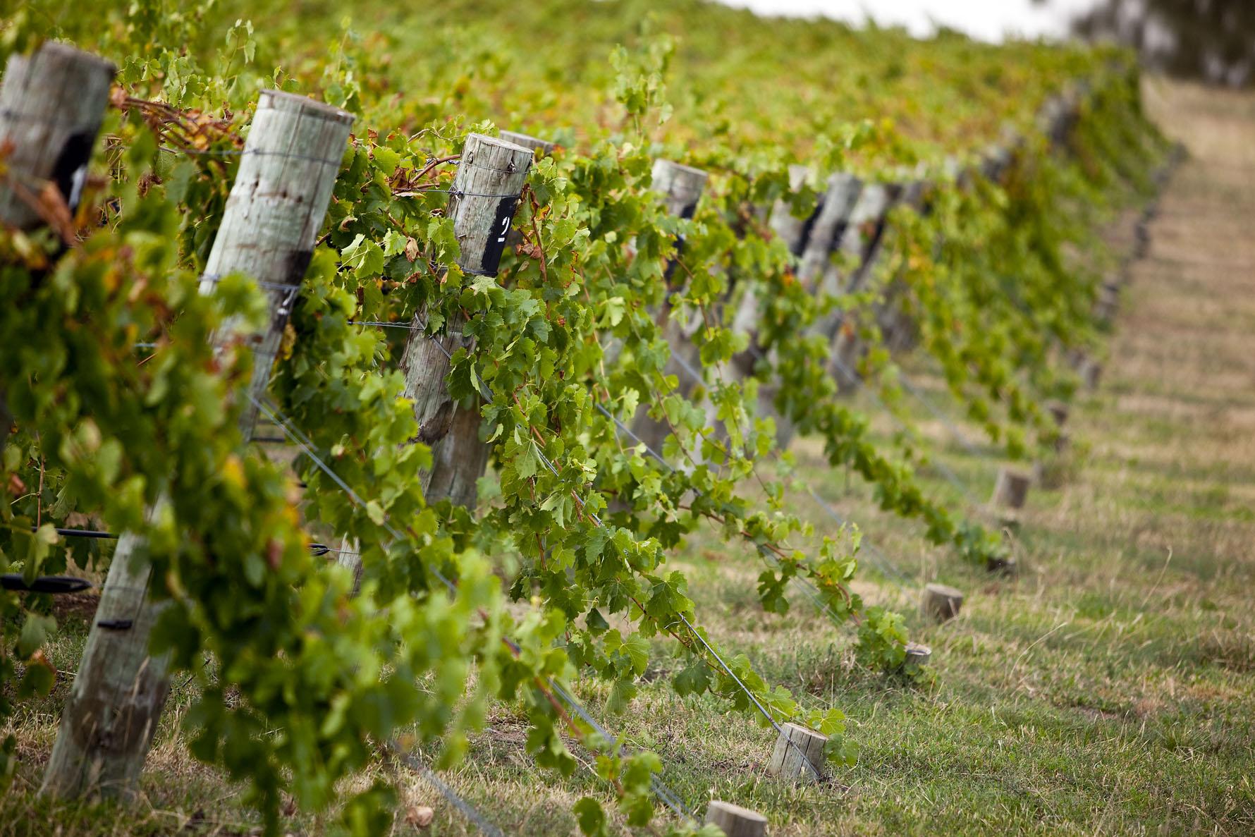 Mudgee Vines