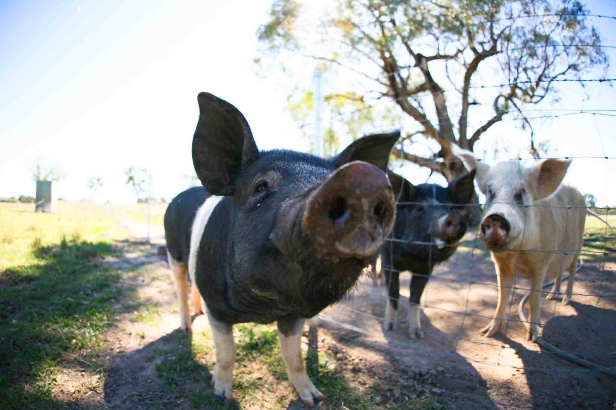 Farm Walks - Pig